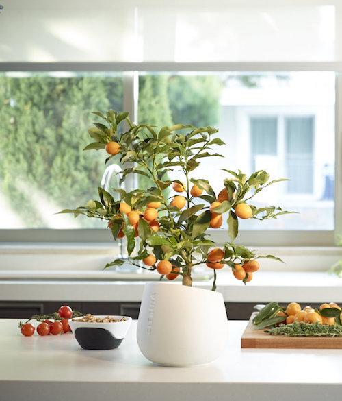 citrina plant algarve portugal europe, miniature citrus tree,