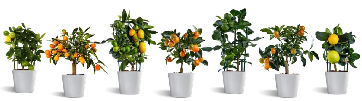 citrina plants, decorative ornaments citrus house plants,