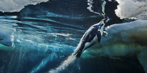 Penguin - Paul Nicklen