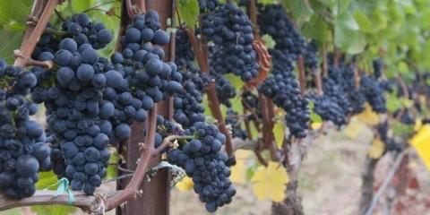 grape harvest herdade dos grous alentejo portugal wine