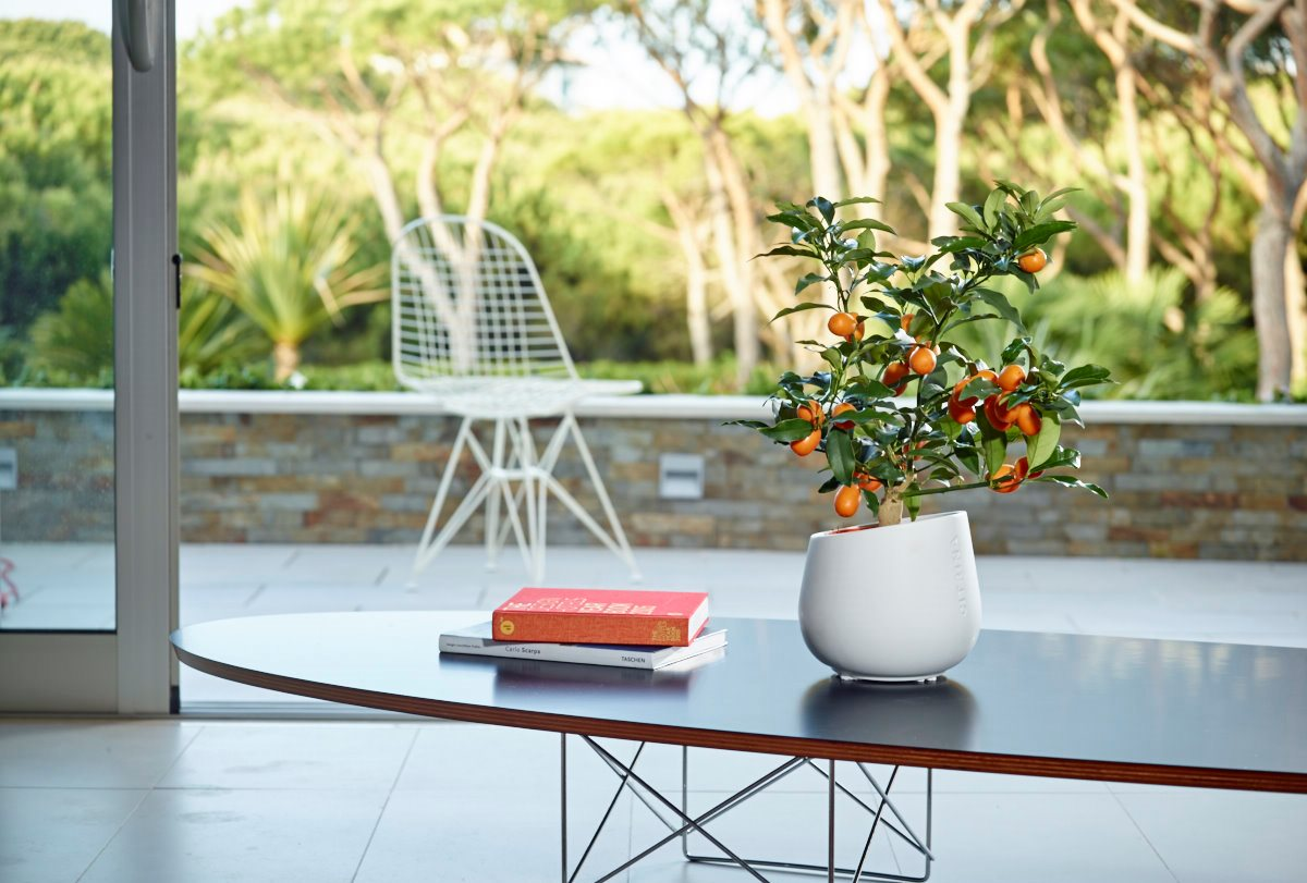 Citrina Miniature Citrus Trees Decorative And Delicious